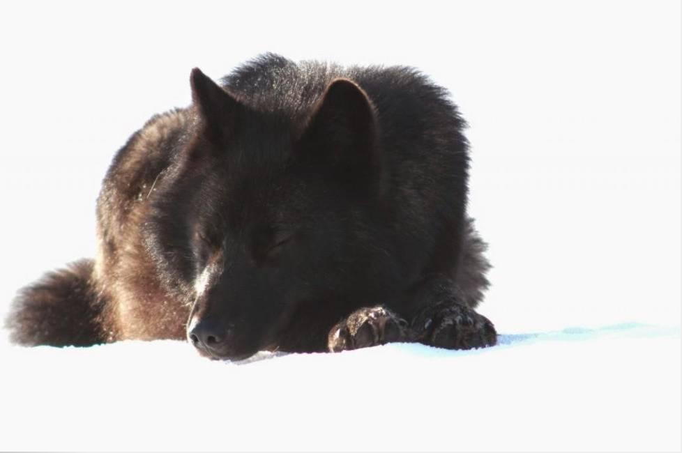 Romeo sleeps in the snow.