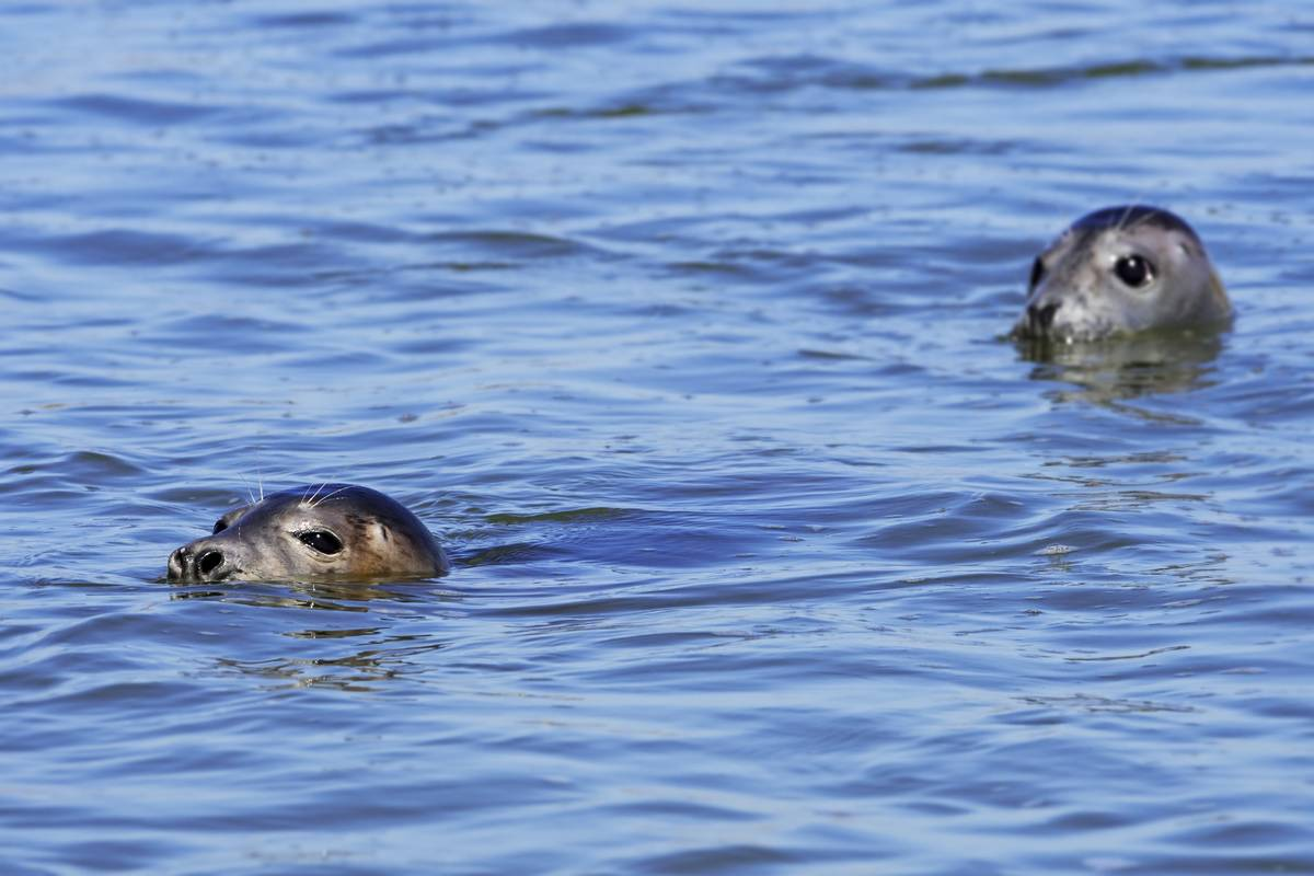 Two young grey seals / gray seals swimming in the Ythan Estuary.