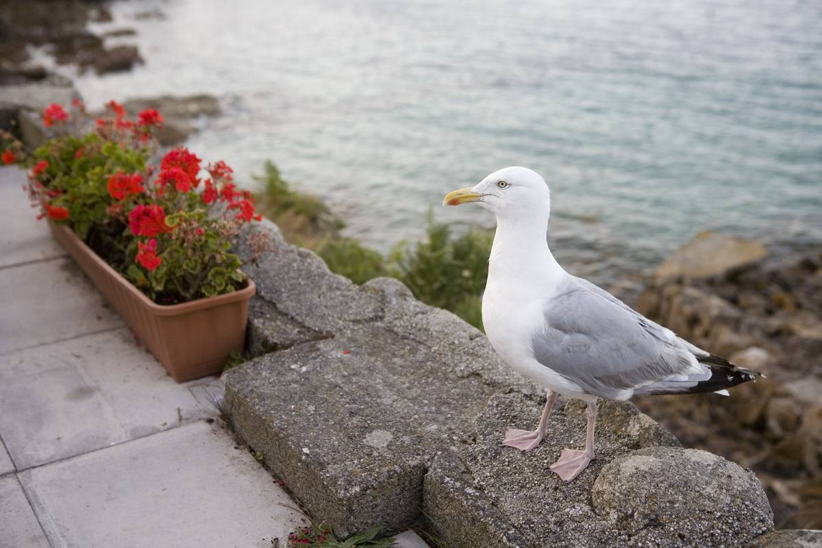 UK - Scilly Isles - Seagull and flowerpot