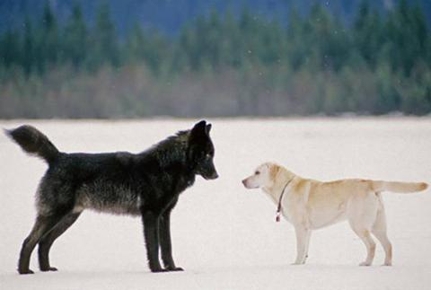 A black wolf and the dog Dakotah stare at each other.