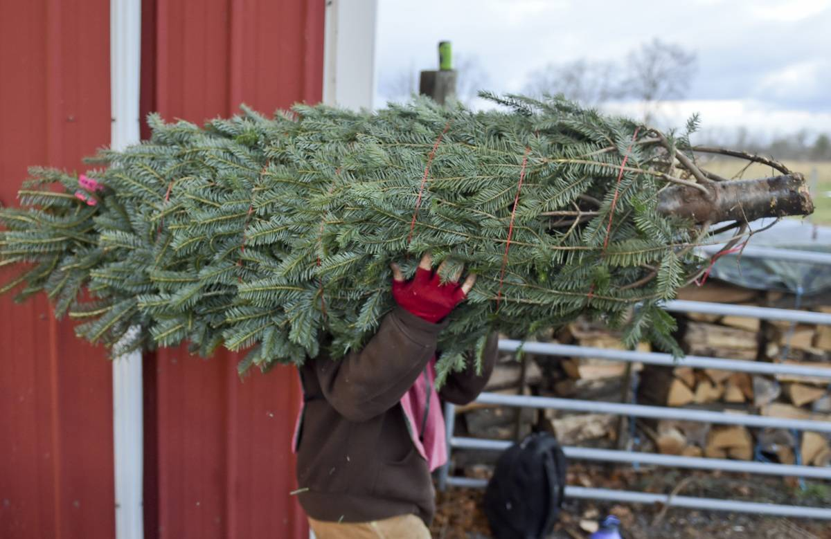 Christmas Trees Are Grown In All 50 States