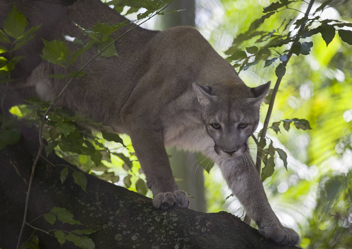 A Florida panther crawls in a tree in a zoo.
