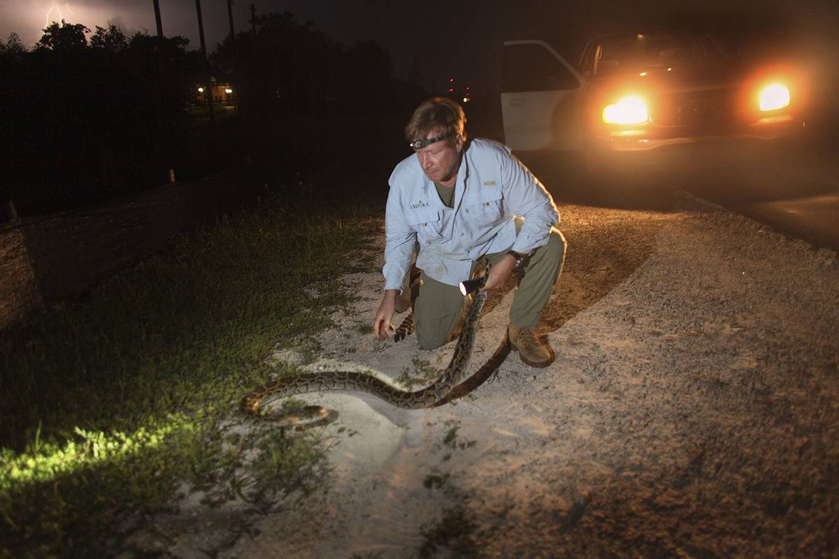 A wildlife biologist captures a python on the side of a road in Miami.