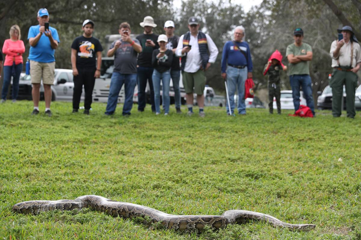 A crowd looks at a python in the grass in Sunrise, FL.