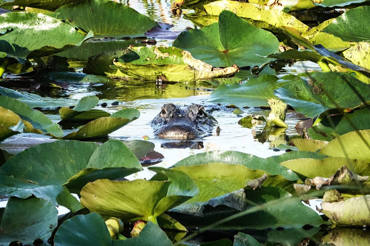 A Florida alligator swims through shallow water in the everglades.