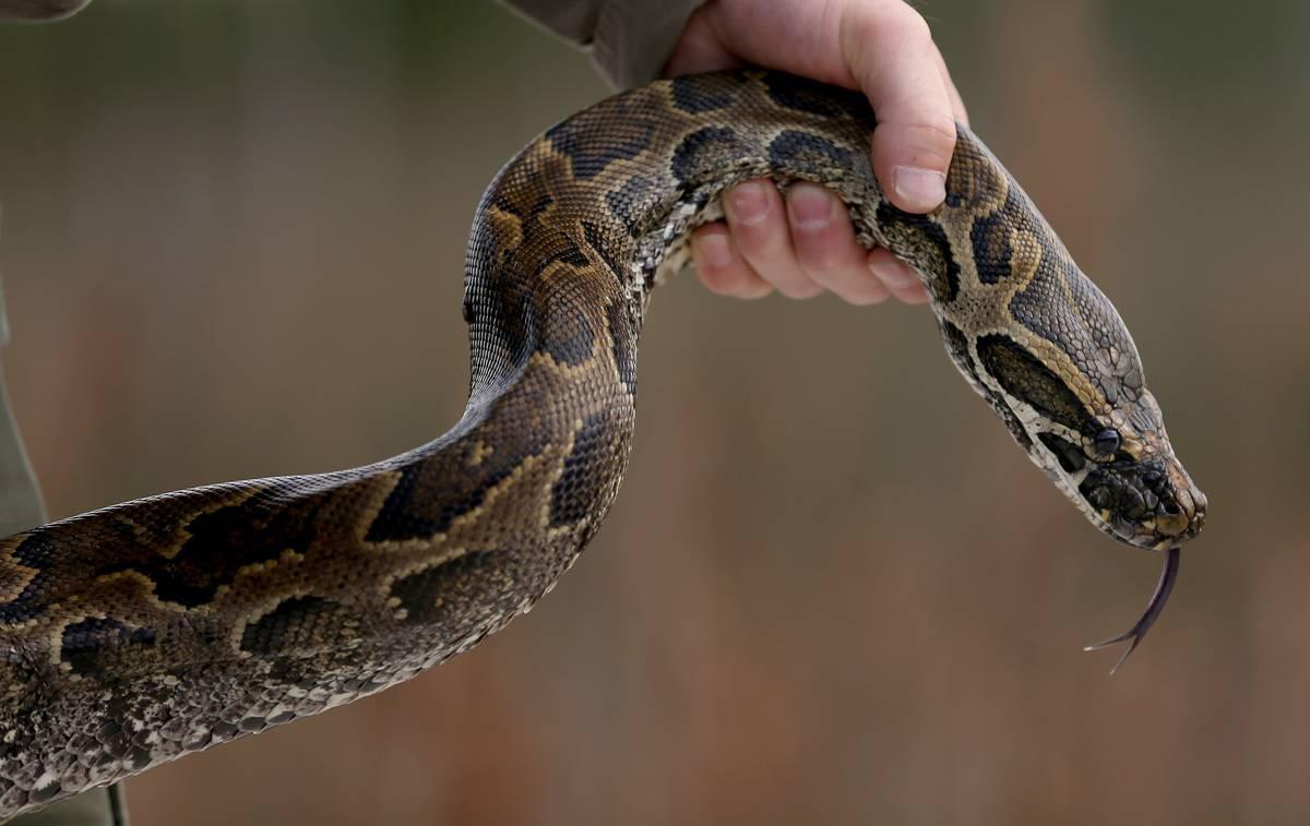 A hunter holds a python by its neck.
