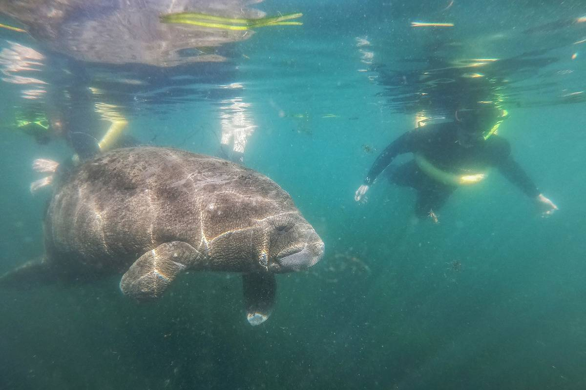 A tourist swims with a manatee in Florida.