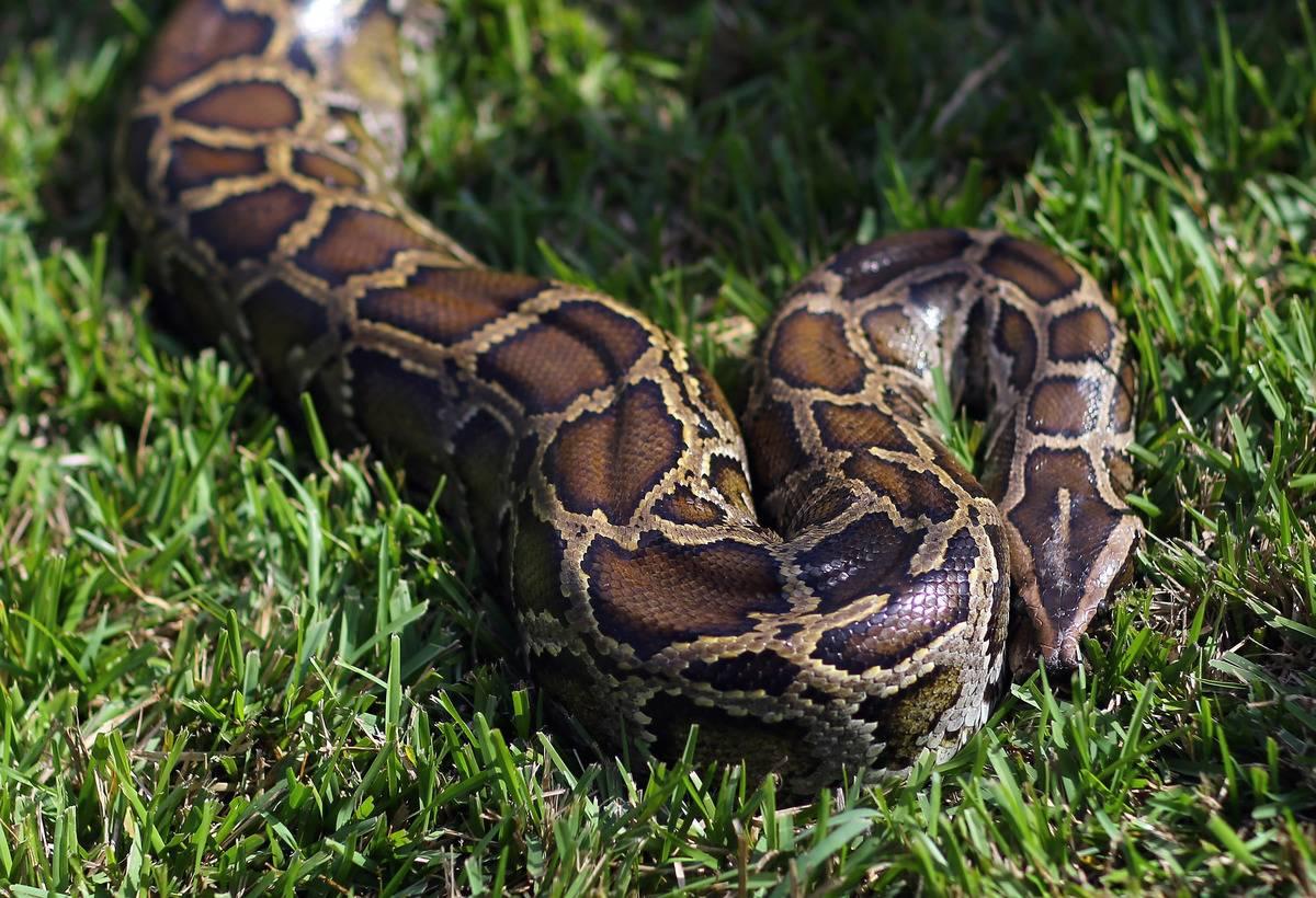 A Burmese python curls up in the grass in Davie, FL.