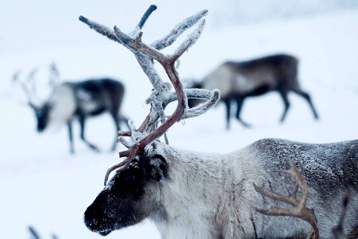A reindeer stands in the snow in Russia.