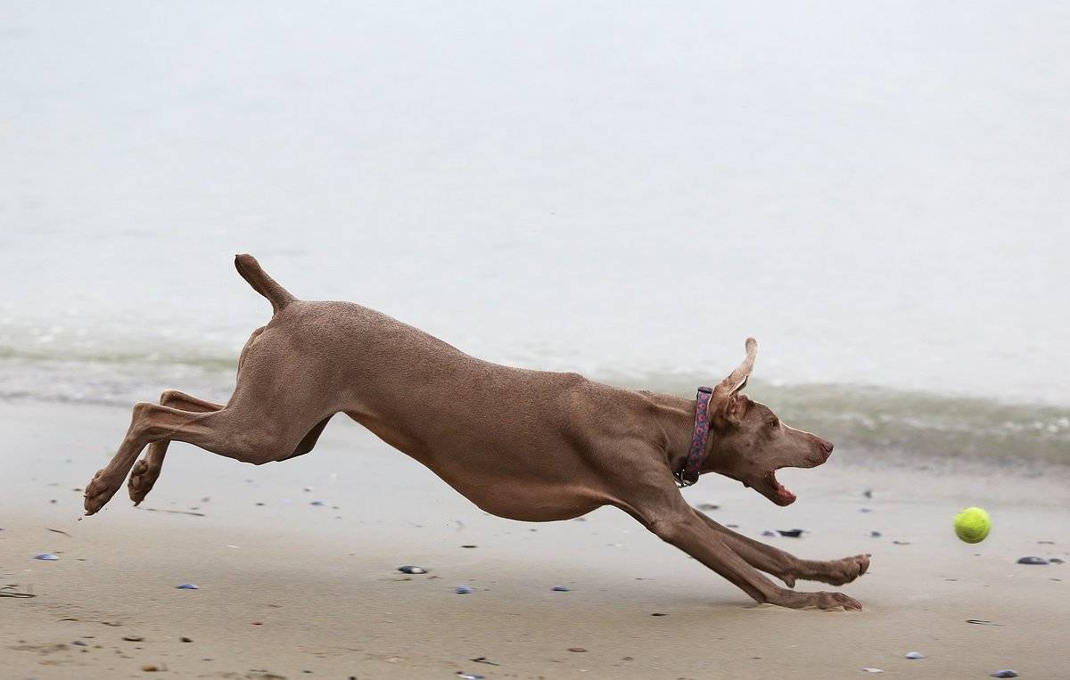 Mookie, a 4-year-old Weimaraner chases a ball, Sunday, Feb. 2, 2014, while playing at East End beach