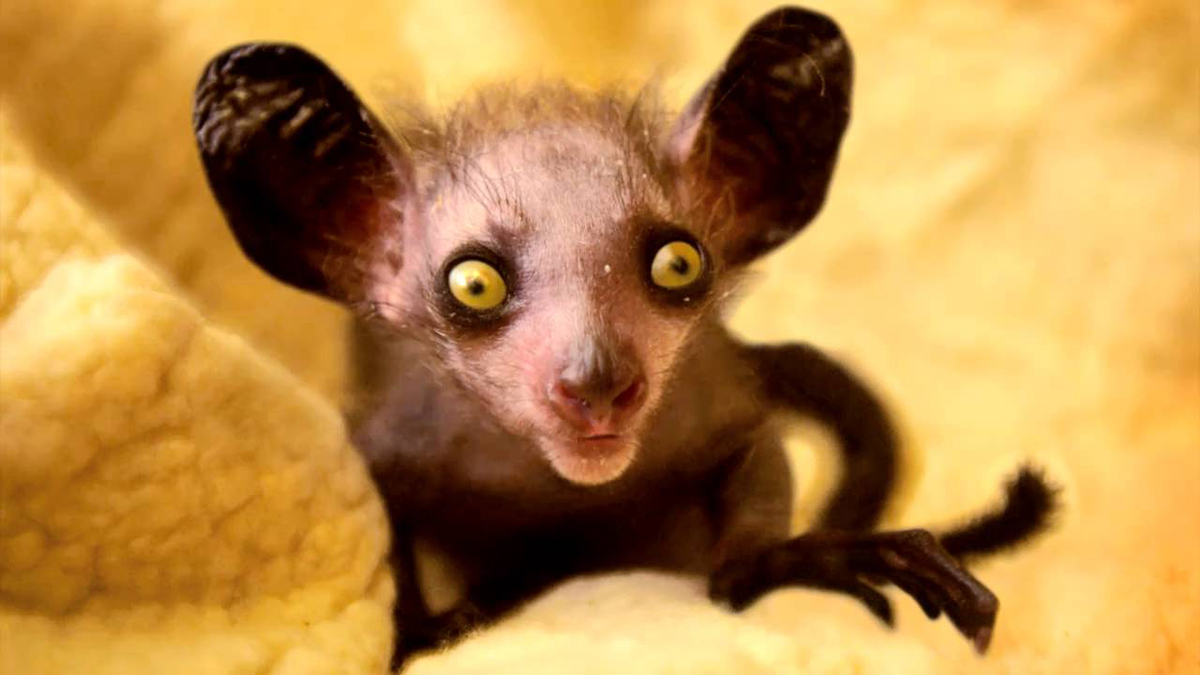 AyeAye_Lemur.jpg