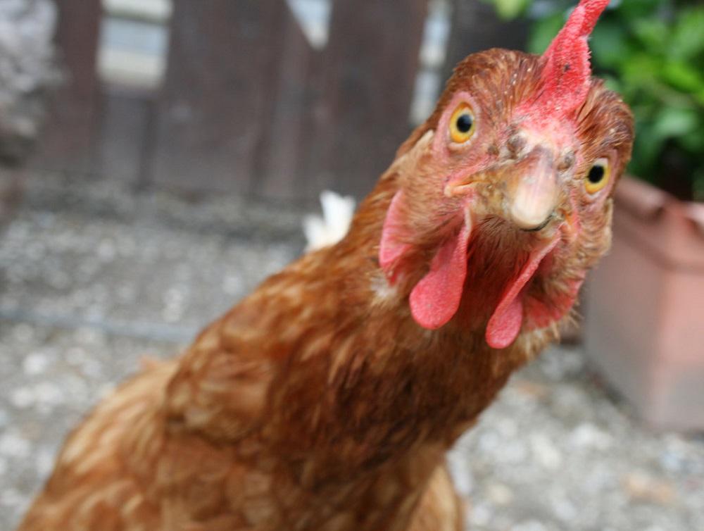Find a Good Chicken Liver