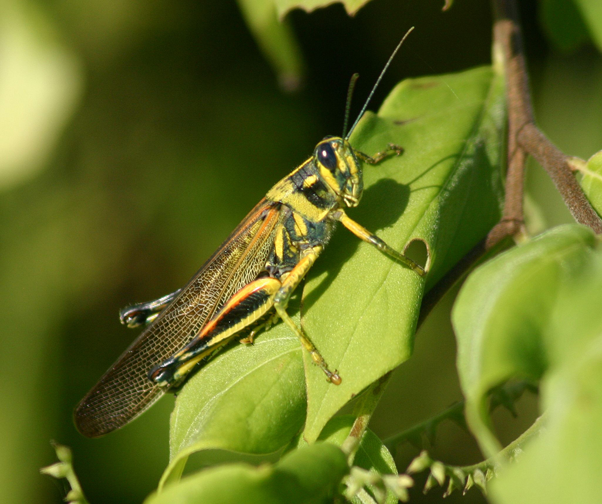 Large Painted Locusts