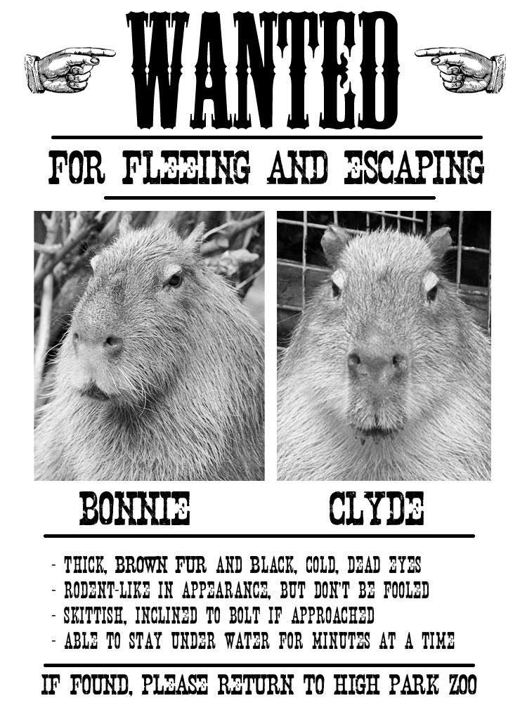 Capybara Who Escaped The Zoo