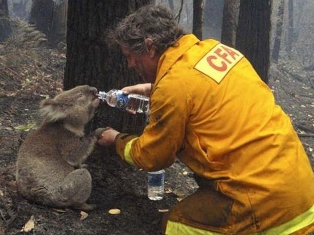 Firefighter Saves Koala