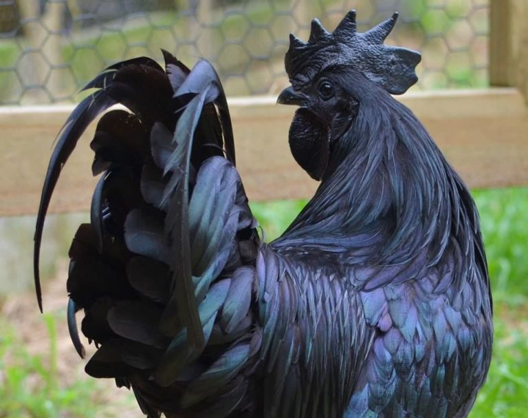 black chicken.jpg