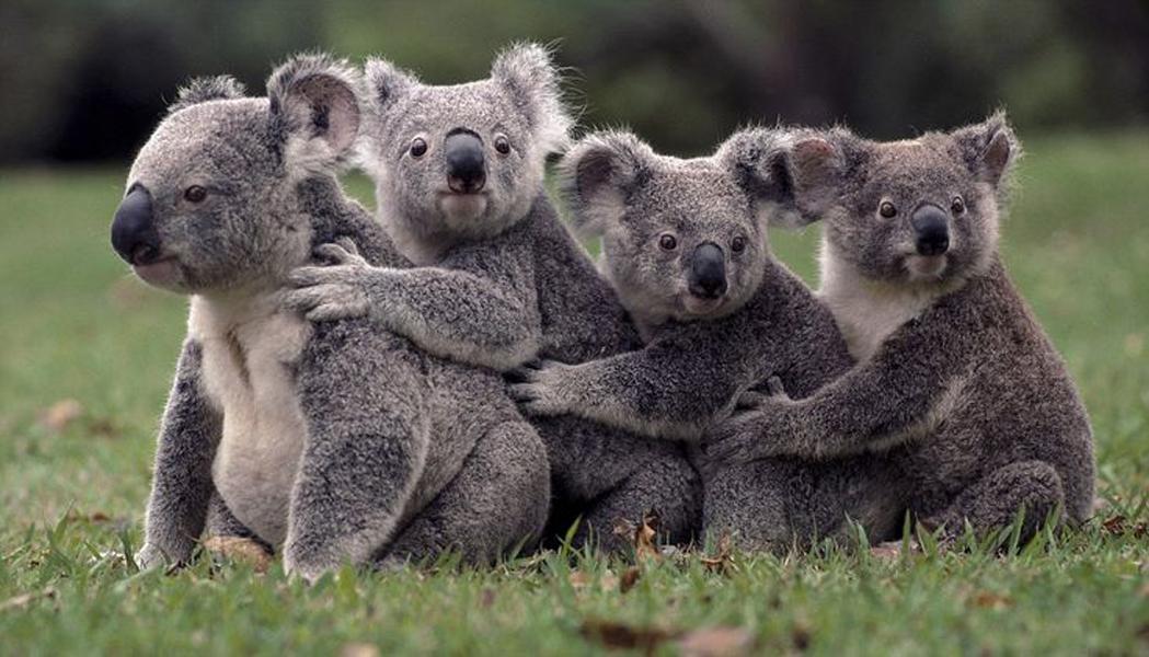 Australia's Lone Pine Koala Sanctuary