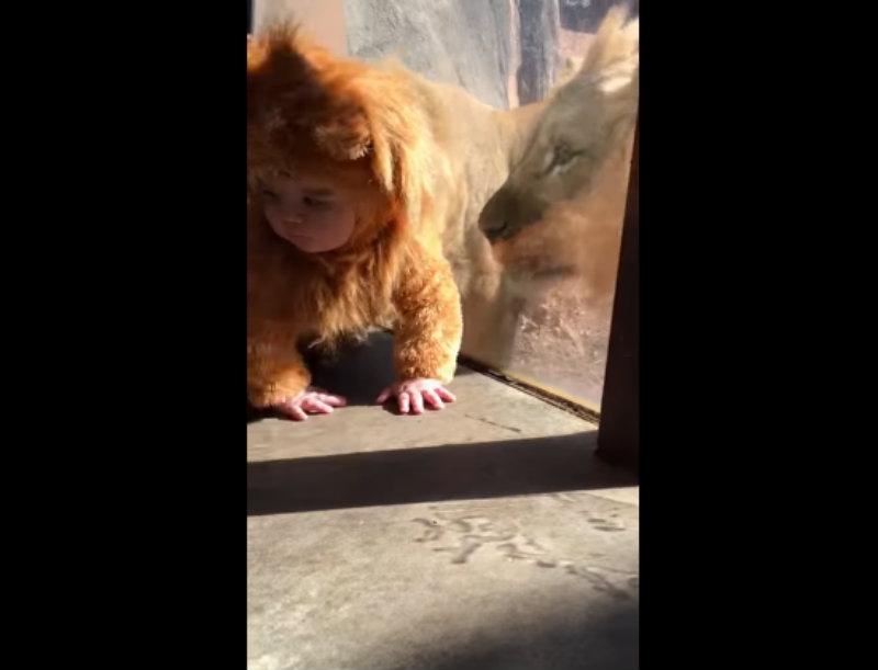 002-lion_seesbaby-1489355604354.jpg