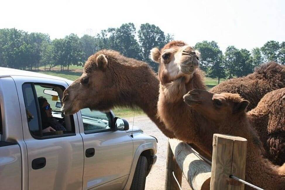 Please, Do Not Feed The Camels
