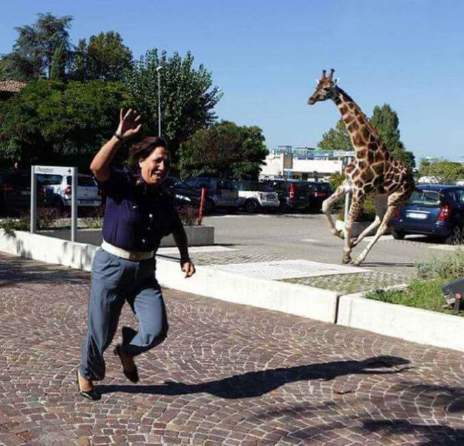 A Giraffe Breaks Loose From The Circus