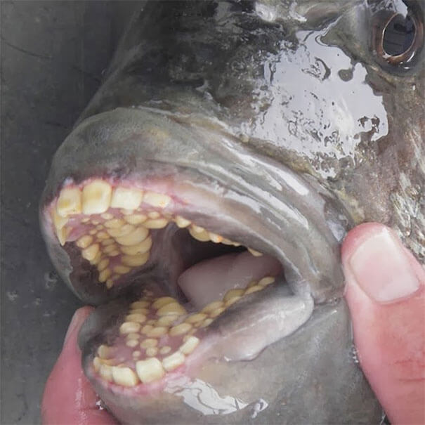 human teeth fish.jpg