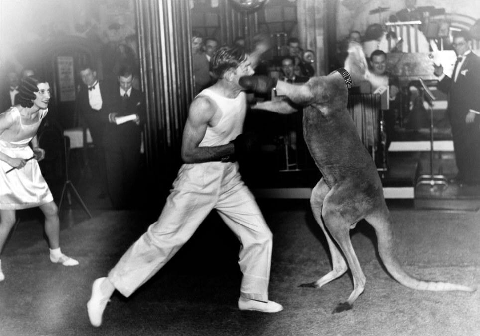 kangarooboxing.jpg