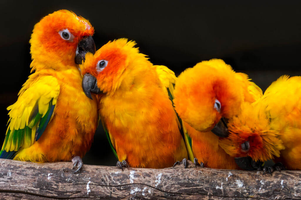 Conures Pull Out Their Feathers When They Are Bored