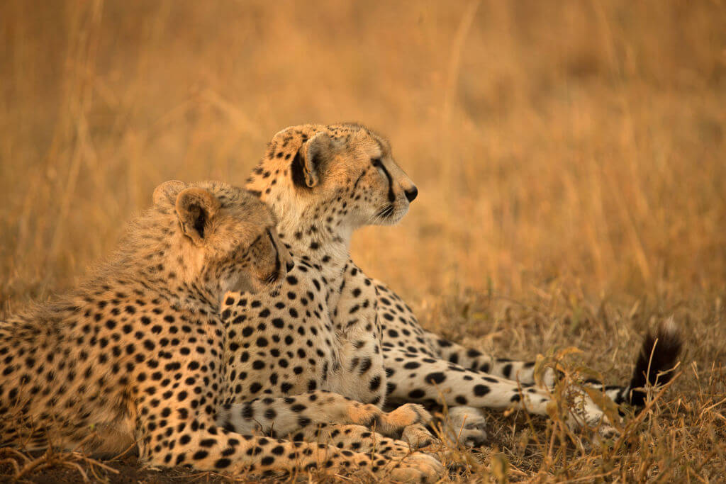 The Life Of A Female Cheetah