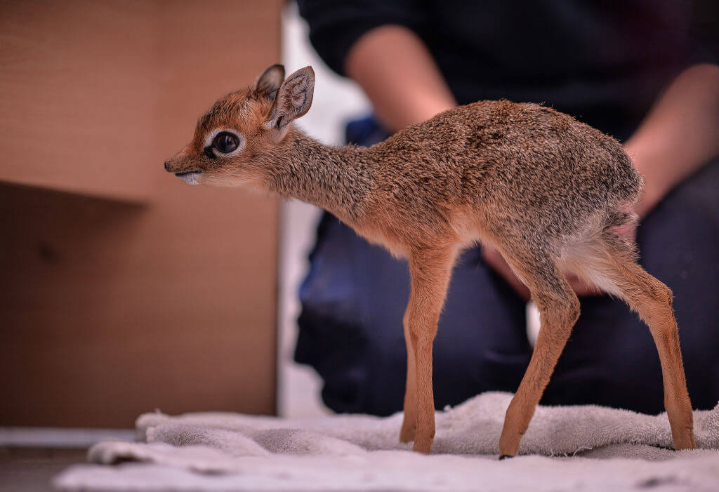 Dik-Dik Mark Their Territory With Tears