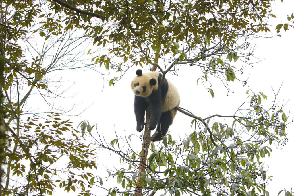 Giant Panda's Will Sleep Anywhere Because They Are Pure And Not Picky