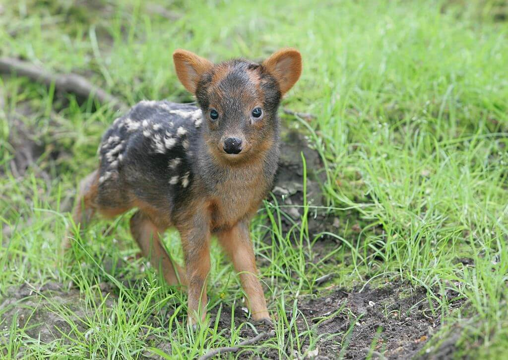 Pudu Deer Never Fear