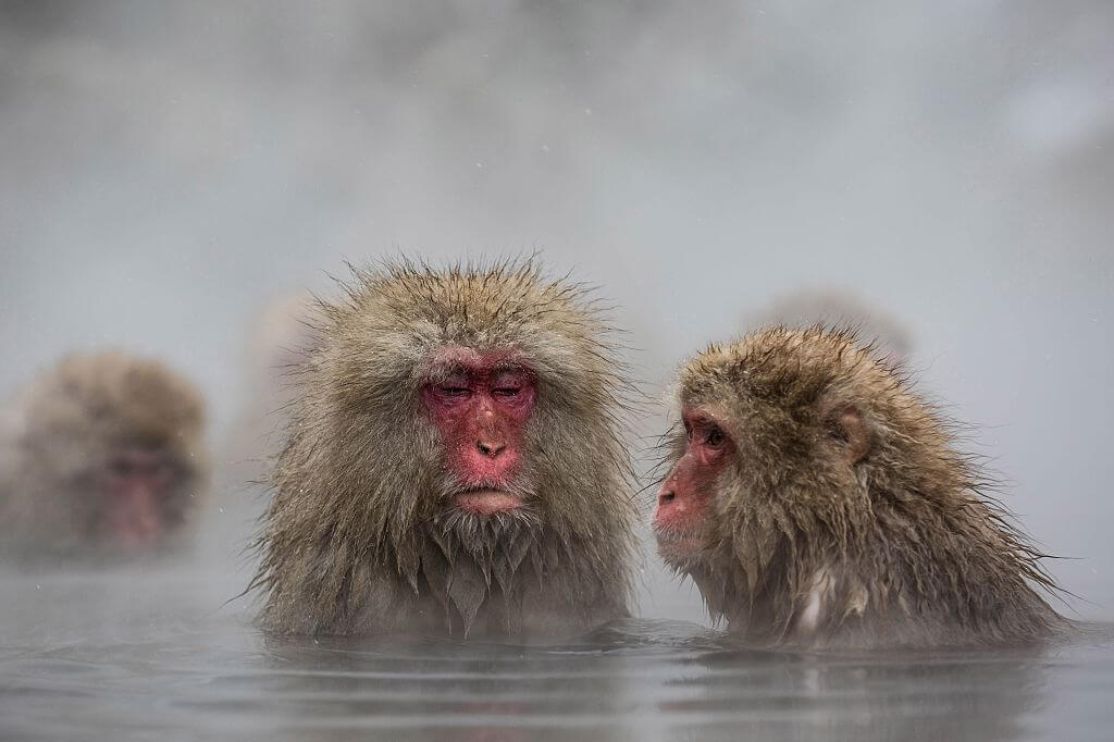 Japanese Snow Monkeys Just Want To Relax