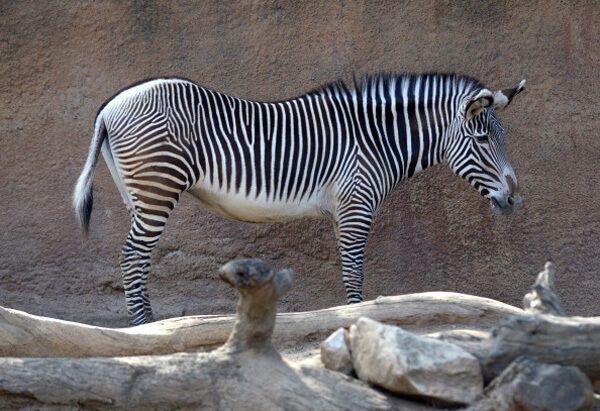 zebra-sleep-alone.jpg