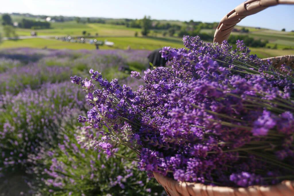 zawrzel-lavender180606_npi1Y